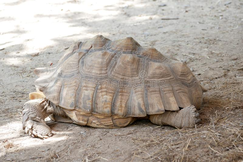 Old brown Tortoise in the zoo.  royalty free stock image