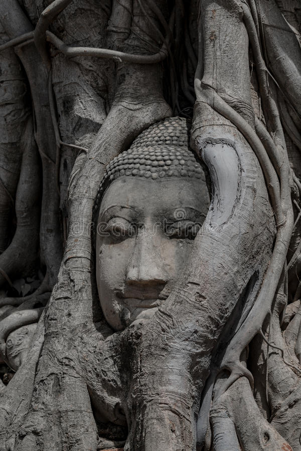 Old Buddha Face In The Root Of Big Tree, Wat Mahathat, Ayutthaya Province. royalty free stock photo