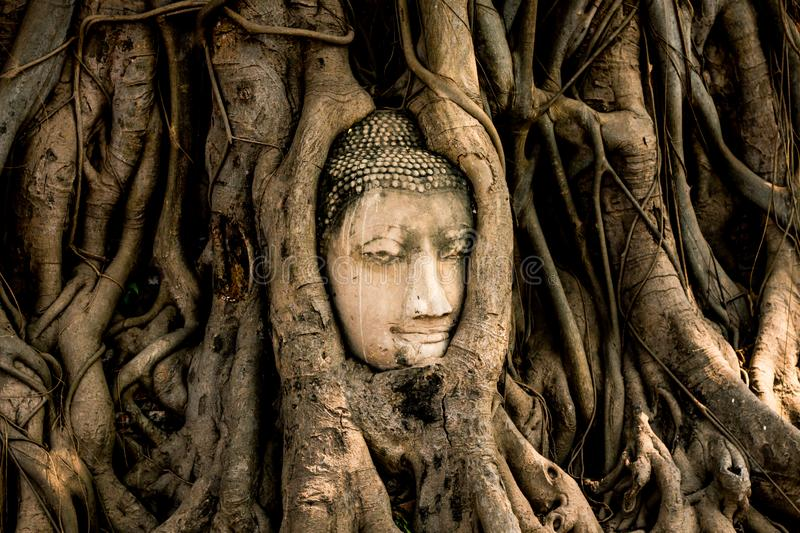 Old Buddha statue head in tree at Wat Mahathat ancient temple . landmark of Ayutthaya Thailand royalty free stock images