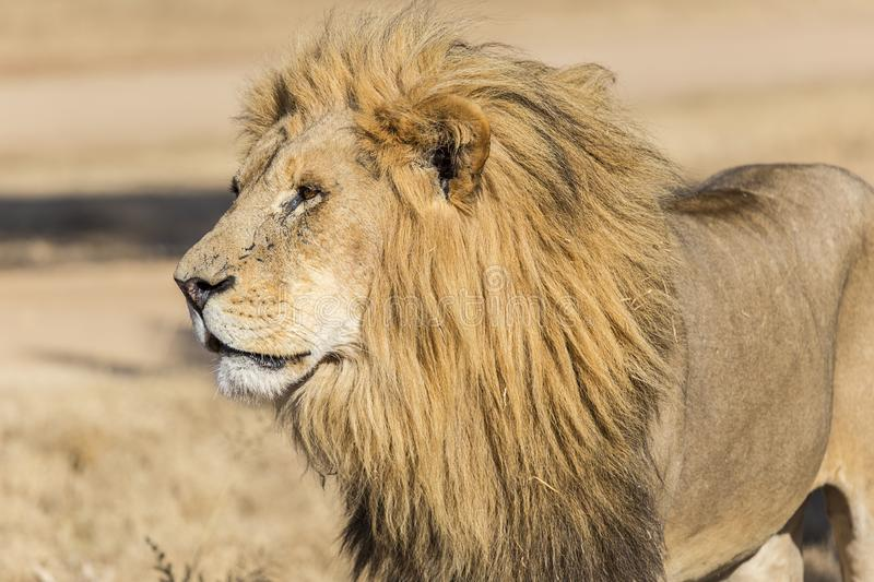 Male Lion Side View Stock Photos - Download 544 Royalty Free Photos