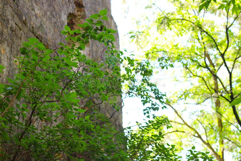 Old castle wall in plants thickets royalty free stock photos