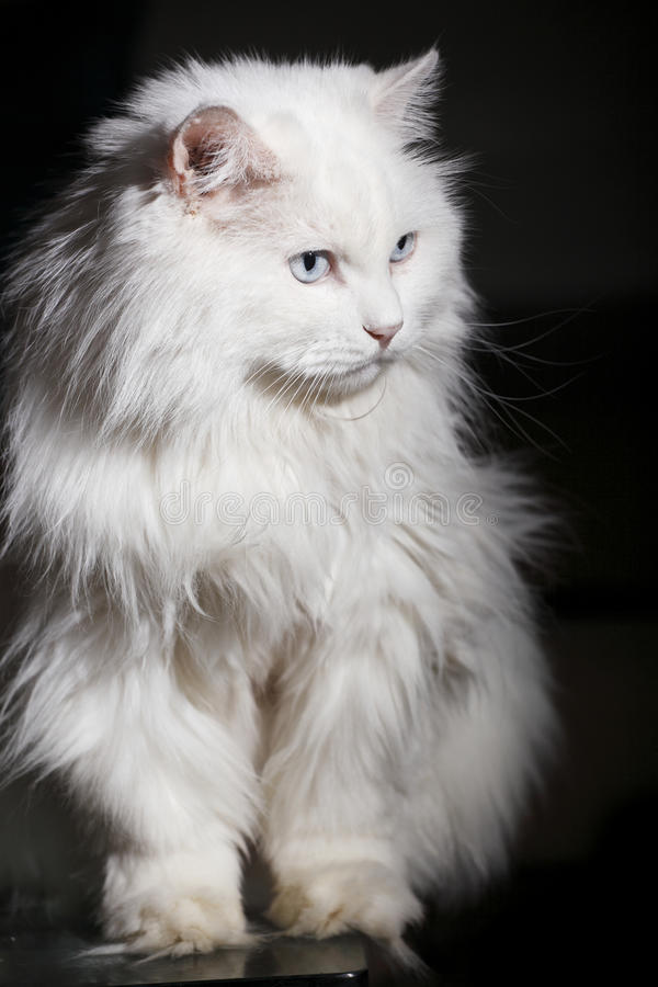 Old cat royalty free stock images