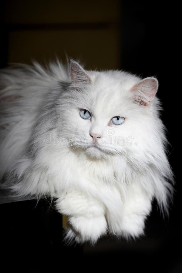 An old cat royalty free stock photography