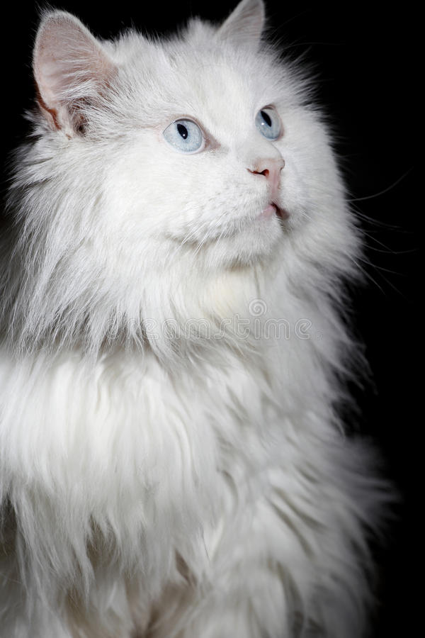 Old cat's portrait royalty free stock photo