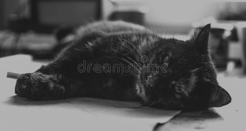 Old cat on the table, black and white stock photos