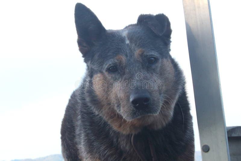 Old cattle dog. Old blue heeler Australian cattle dog on back of utility truck royalty free stock image