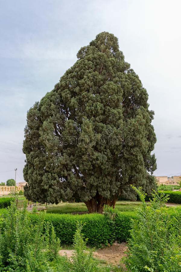 Old cedar tree. In Abarghu is listed as one of the oldest trees in the world stock photography