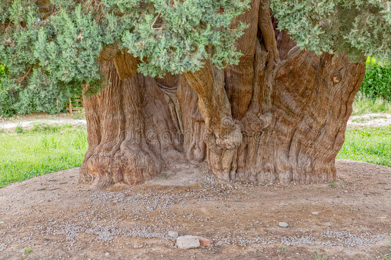 Old cedar tree trunk. Old cedar tree in Abarghu is listed as one of the oldest trees in the world royalty free stock image
