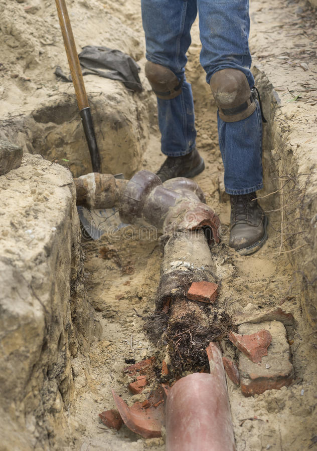 Old Ceramic Sewer Line Full of Tree Roots. Man with shovel in trench showing old broken terracotta ceramic sewer line completely filled with invasive tree roots stock image