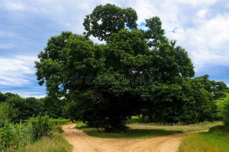 Old chestnut tree. Centuries old chestnut tree in Roero, Italy stock image