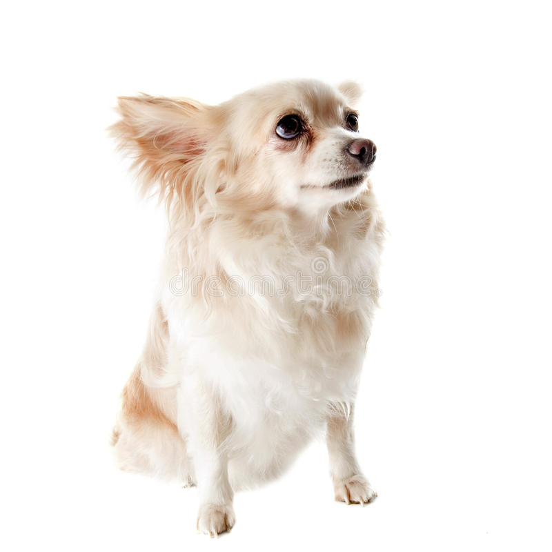 Download Old chihuahua stock photo. Image of animal, senior, canine - 25943760