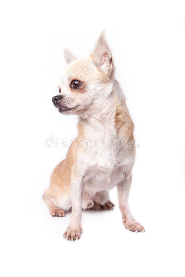 Old Chihuahua Stock Photo