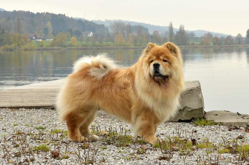 Old Chowchow dog standing next to the Zurich lake stock photography