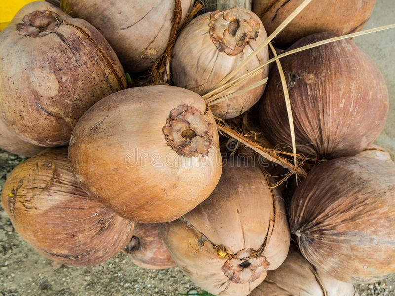 Old coconut harvested. Old coconuts harvested in the garden royalty free stock photo