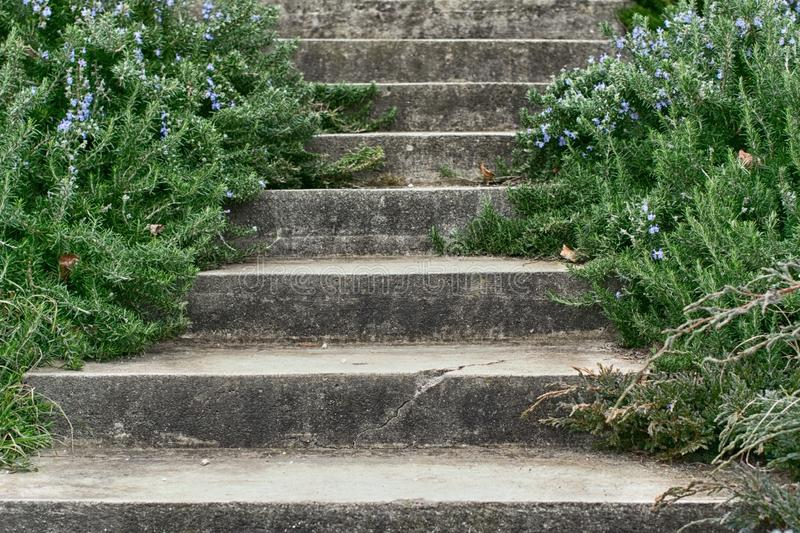 Old concrete staircase with coniferous shrubs with flowers royalty free stock image