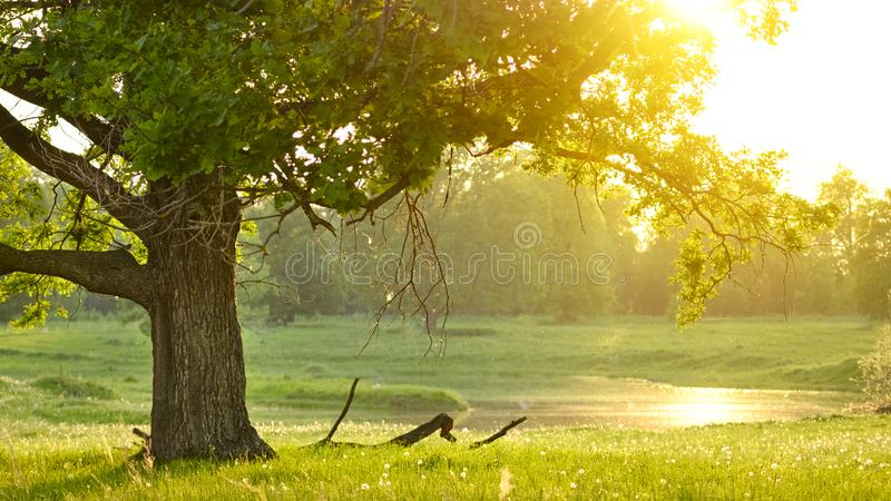 Old Cork oak tree Quercus suber in evening sun. The concept of wisdom and longevity. royalty free stock photo
