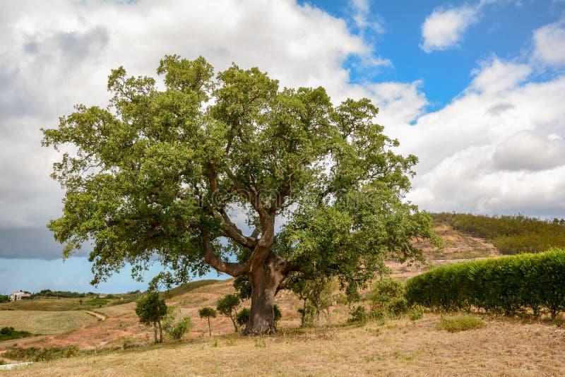 Old Cork oak tree Quercus suber in morning sun light, Alentejo Portugal Europe stock photo