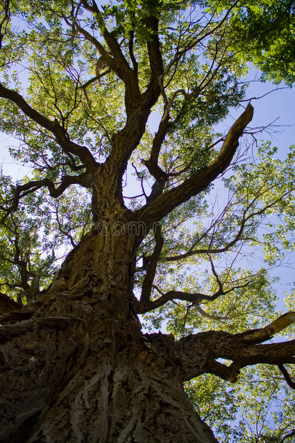 Old Cottonwood Tree royalty free stock images