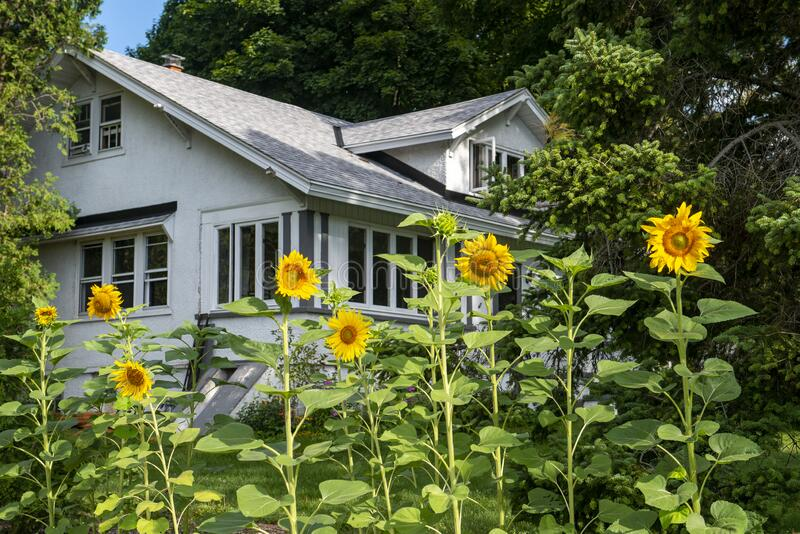 Old Country Farmhouse, Flowers, Sunflowers, Sunflower Plants royalty free stock images