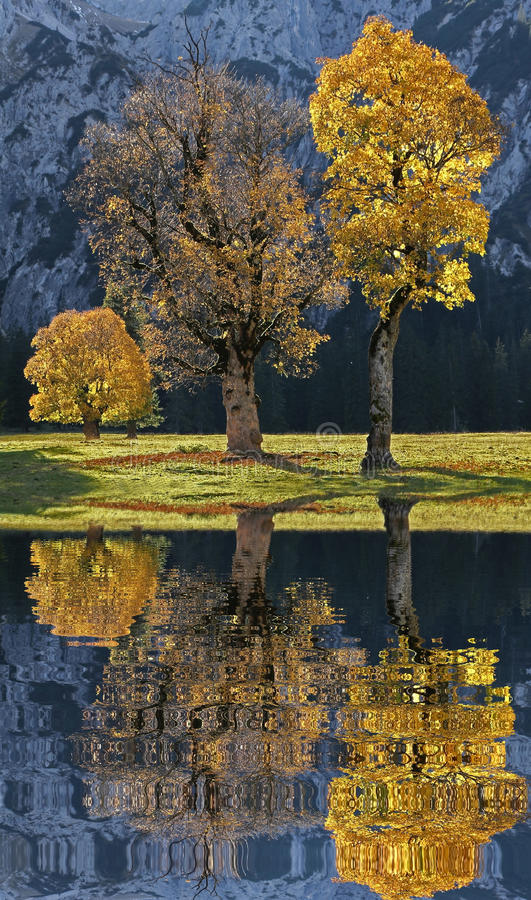 Old cracket maple trees with back lighting and water reflection. Old cracked maple trees on a valley bottom in the austrian alps, autumnal trees with back royalty free stock images
