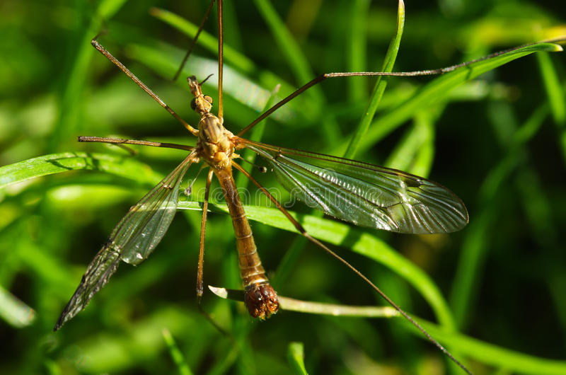 Old Crane fly overview - Tipula sp. royalty free stock images