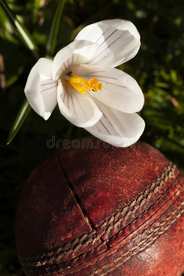 Old cricket ball under crocus flower. While Crocus flower over an old fashioned red cricket ball. Floral nature close up with sports equipment royalty free stock photo