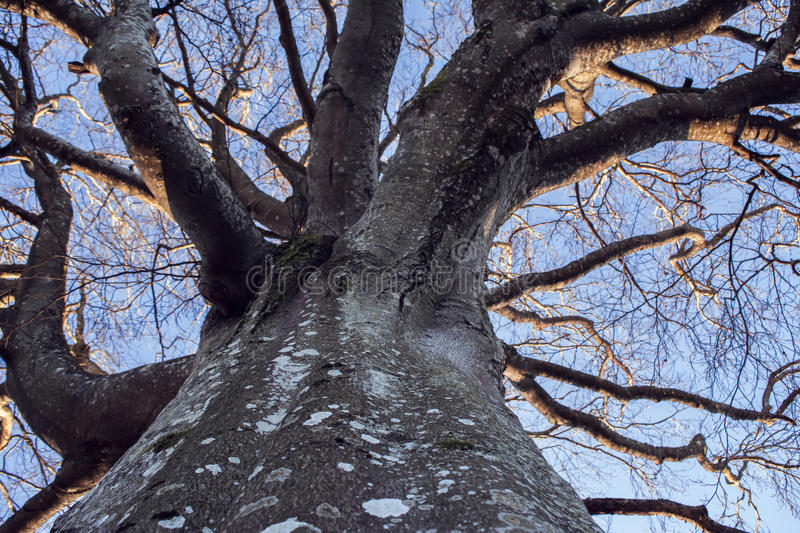 Old, crooked, antlered and bare tree. Lookup at an old, crooked, antlered and bare tree in winter royalty free stock image
