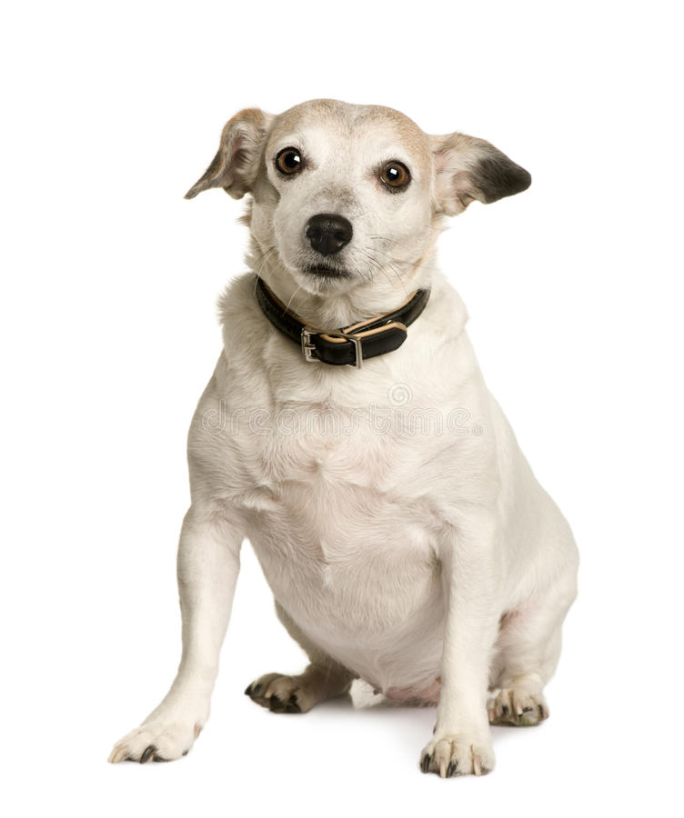 Old Crossbreed with a Jack Russell terrier royalty free stock images