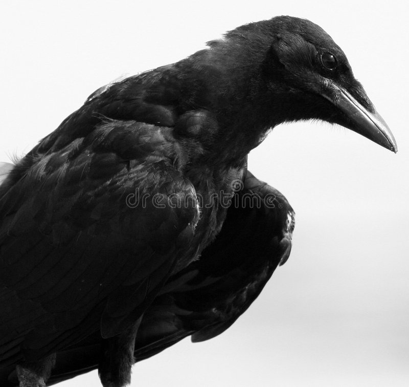 Old Crow in Black and White stock photos