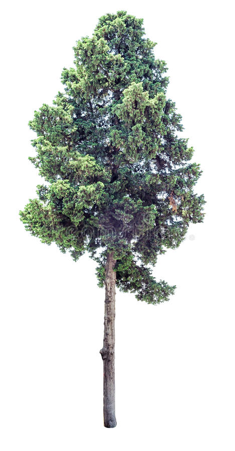 Old cypress tree isolated. Old evergreen cypress tree isolated on white background. Clipping path included royalty free stock photography