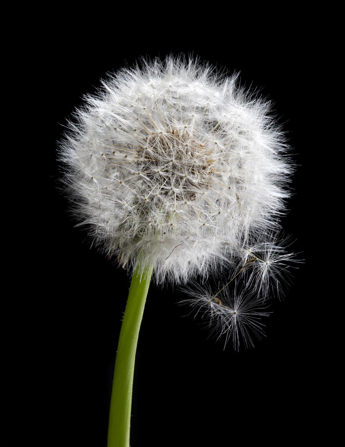 Free Old Dandelion Isolated On Black Royalty Free Stock Images - 33333089