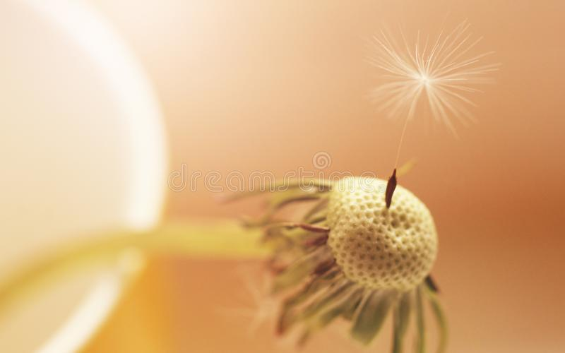 Old dandelion with one seed, flower stock images