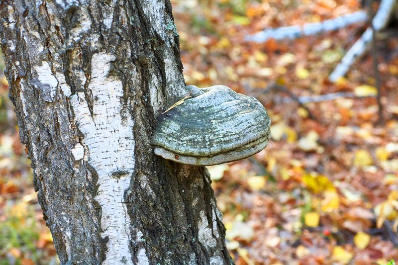 Old dead birch in the forest with a mushroom growing stock photos