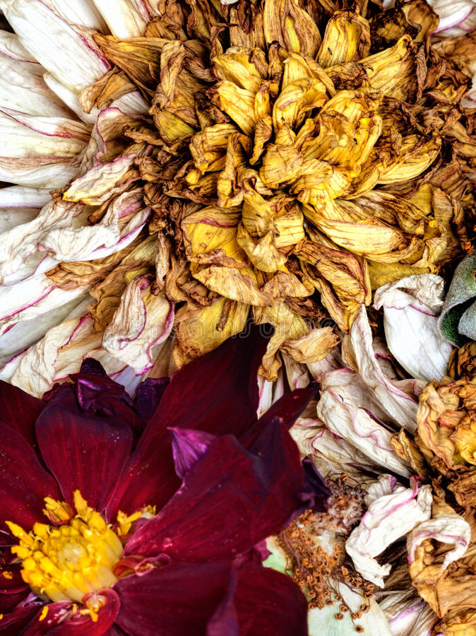 Old dead flowers. Close up macro royalty free stock image