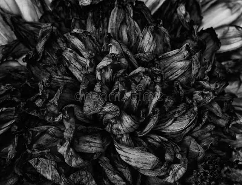 Old dead flowers. Close up macro stock photos