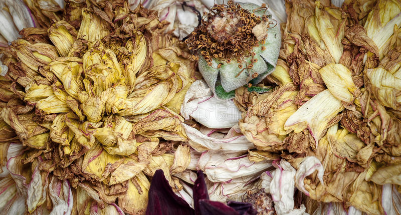 Old dead flowers. Close up macro royalty free stock images