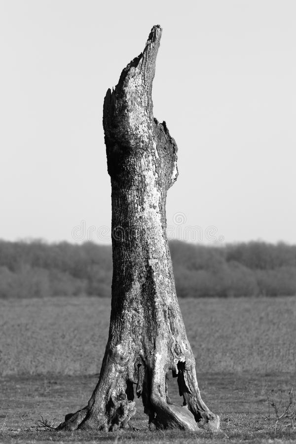 Old dead tree in the field royalty free stock image