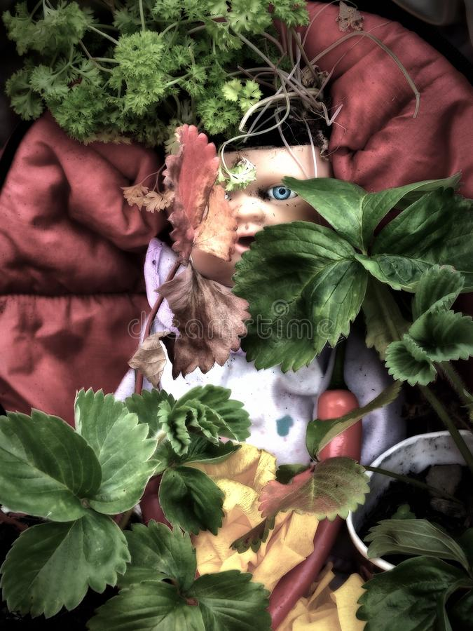 an old dirty vintage baby doll with a creepy scary blue eye staring through laves and plants on a dark red background spooky royalty free stock photo