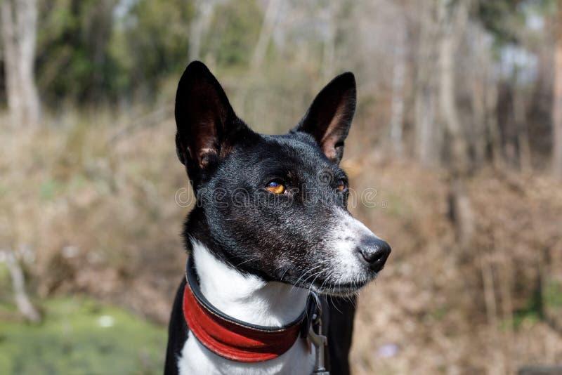 Old dog basenji with a gray muzzle. large portrait royalty free stock image