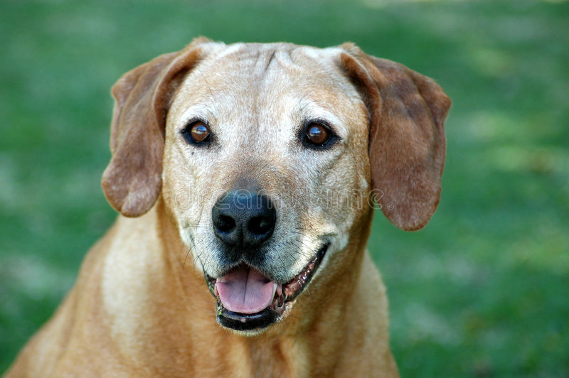 Old dog face. A beautiful grey face of a very old Rhodesian Ridgeback hound dog with loyal facial expression staring outdoors