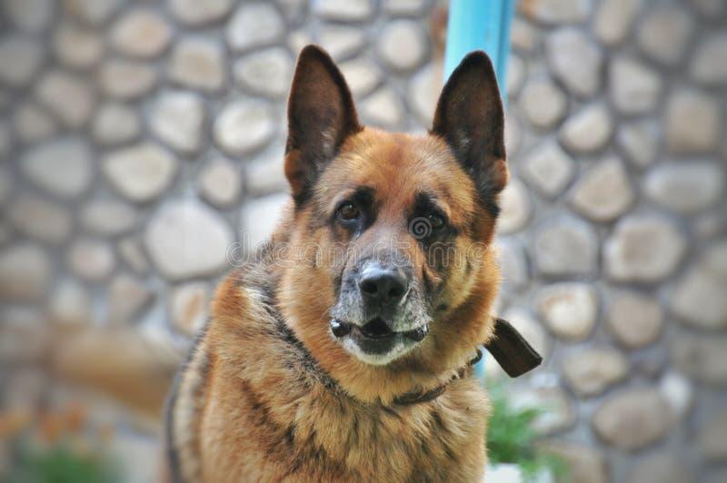 Old dog German shepherd. Old German shepherd with the collar royalty free stock photography
