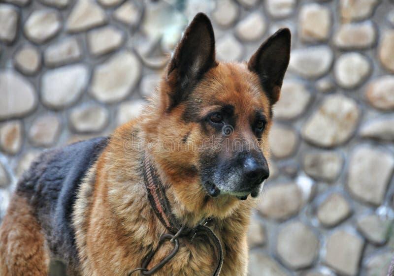 Old dog German shepherd. Old German shepherd with the collar royalty free stock images