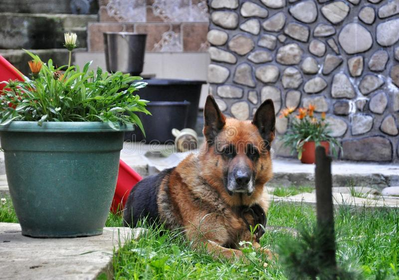 Old dog German shepherd resting. Old German shepherd resting on the grass royalty free stock images