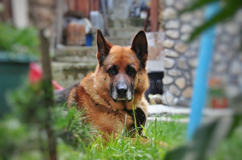 Old dog German shepherd resting. Old German shepherd resting on the grass royalty free stock photography