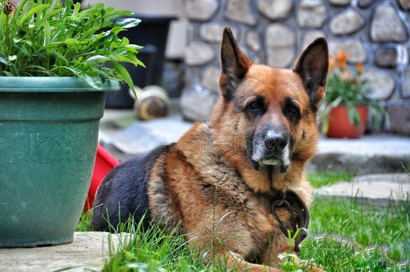 Old dog German shepherd resting. Old German shepherd resting on the grass royalty free stock photos