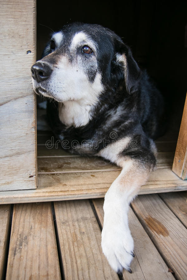 Old dog in kennel. Vertical format colour shot of old dog in kennel stock photography