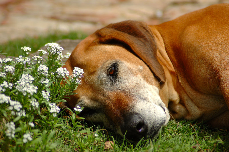 Old dog resting royalty free stock photo