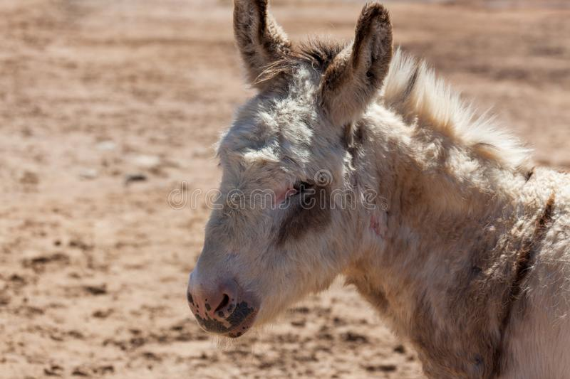 Old Donkey Profile. A portrait of an old white and brown donkey with a sad look standing in the sunshine royalty free stock images