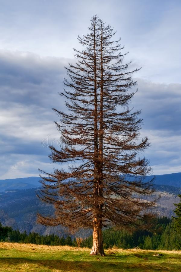Old dried big fir tree in nature royalty free stock photo