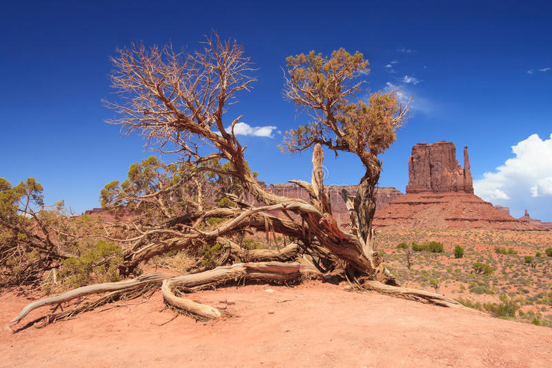 Old dry tree in Monument Valley in Navajo Nation Reservation between Utah and Arizona royalty free stock photos